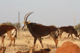 Sable cow 2-7 born 20 Febr 2007